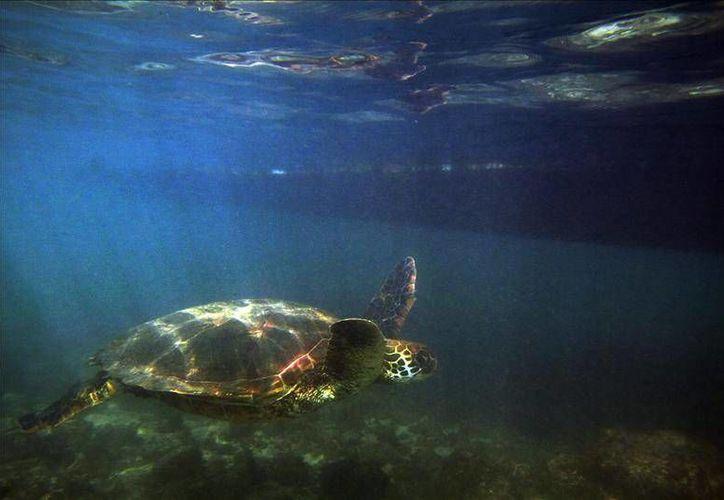 México ha impuesto varias medidas, como evitar la interacción de las tortugas con labores de pesca o delimitar una zona de refugio pesquero. Sin embargo las autoridades estadounidenses han determinado que tales medidas aún no son suficientes. (EFE archivo)
