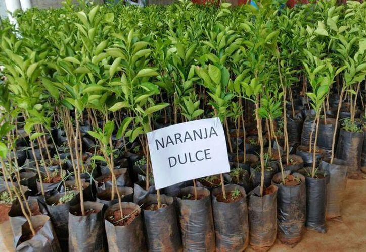 Seder entregó más de ocho mil injertos de naranja dulce y de toronja a productores del municipio de Samahil. (Cortesía)