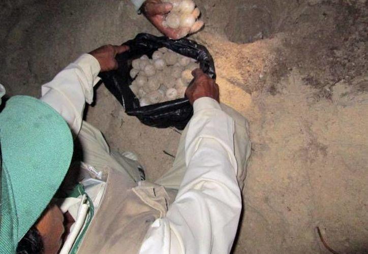 Los ladrones de huevos de tortuga podrían pasar nueve años presos. (SIPSE/Foto de contexto)
