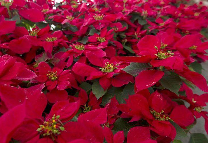 Al cierre de este año, en México se habrán consumido 20 millones y medio de plantas de Nochebuena. (Archivo/Notimex)