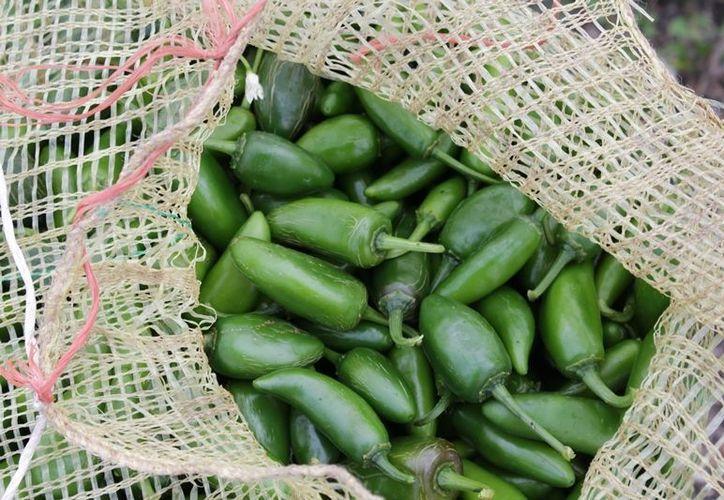 El cultivo de picante, corresponde a los ejidos Caobas, Nicolás Bravo,  y demás comunidades cercanas a la zona limítrofe con el estado de Campeche. (Edgardo Rodríguez/SIPSE)