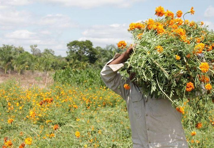 Los campesinos que se dedican a la cosecha perciben 50 pesos por la jornada, con esto deben mantener a sus familias. (Edgardo Rodríguez/SIPSE)