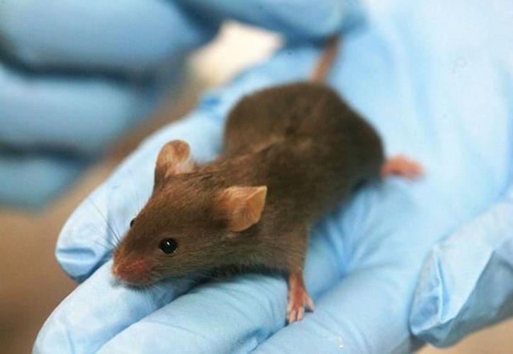 Las células normales del corazón de un ratón se transformaron en células capaces de corregir los defectos del ritmo cardíaco. (lainformacion.com)