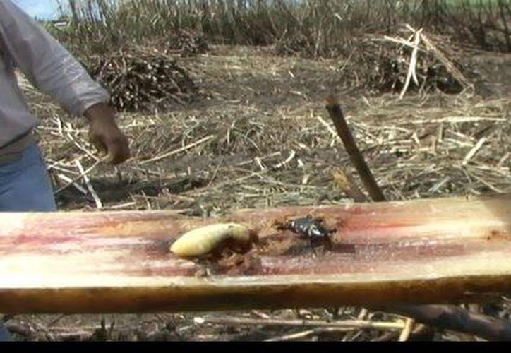 Se ha establecido que durante la sequía, la población del insecto aumenta considerablemente, de acuerdo con estudios del Campus de Monterrey.
