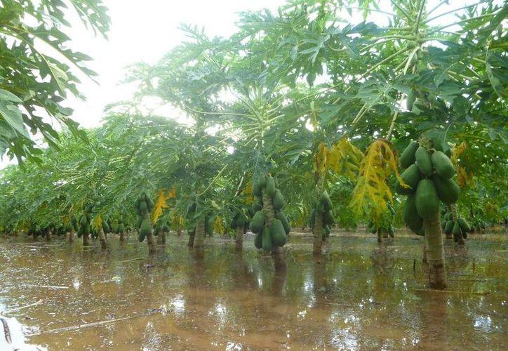 Mencionan que las plantas se irán muriendo poco a poco. (Raúl Balam/SIPSE)