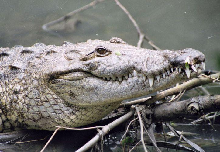 Cozumel es la isla con mayor presencia de reptiles y anfibios. Foto: Contexto