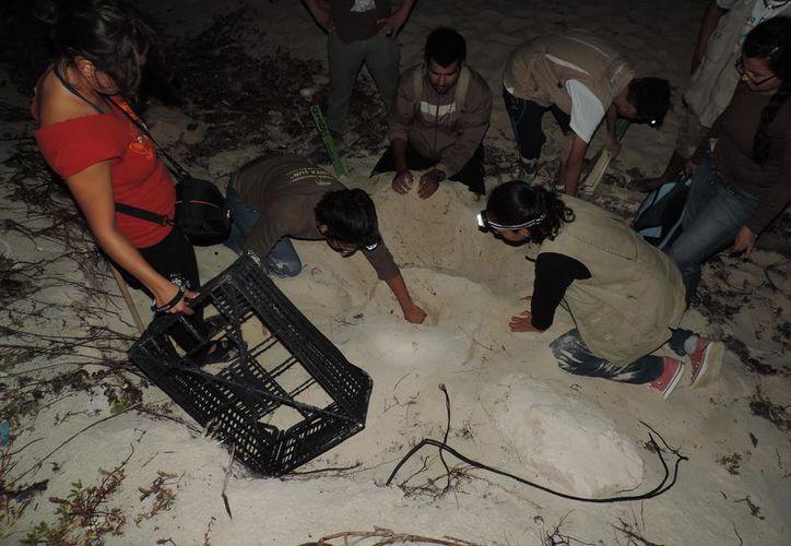 Brigadista de la Fundación de Parques y Museos realizan trabajos de protección del quelonio. (Foto: Gustavo Villegas/SIPSE)