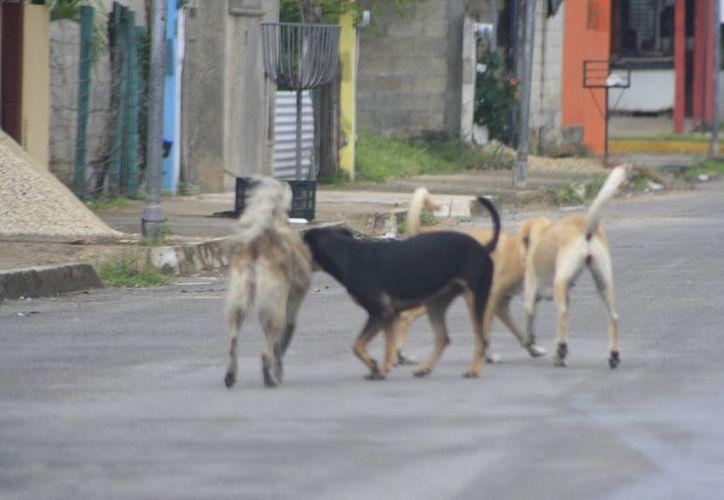 Othón P. Blanco hay más de 30 mil perros callejeros. (Gerardo Amaro/SIPSE)