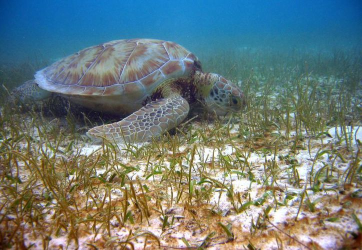 En el litoral del Estado arriban seis especies de tortugas. (Claudia Martín/SIPSE)