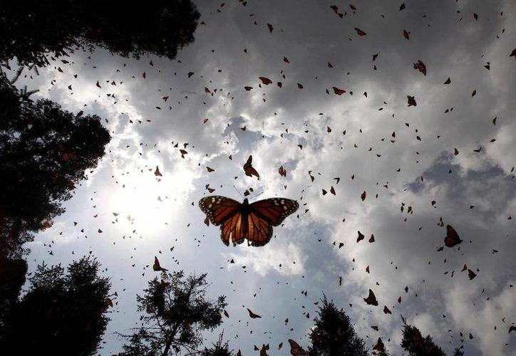 La existencia de las mariposas fue confortable debido a la ausencia de aves en aquel entonces. (Archivo/Notimex)