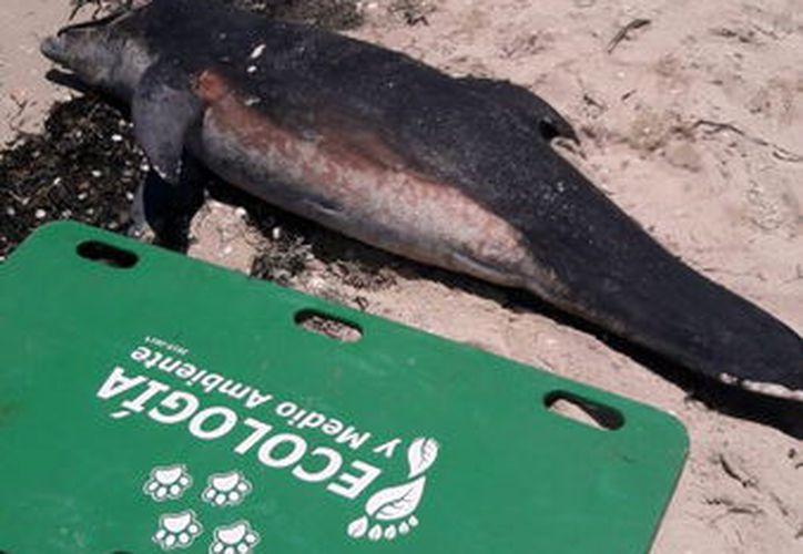 El delfín fue enterrado en el lugar por autoridades de ecología. (Foto: Milenio Novedades)