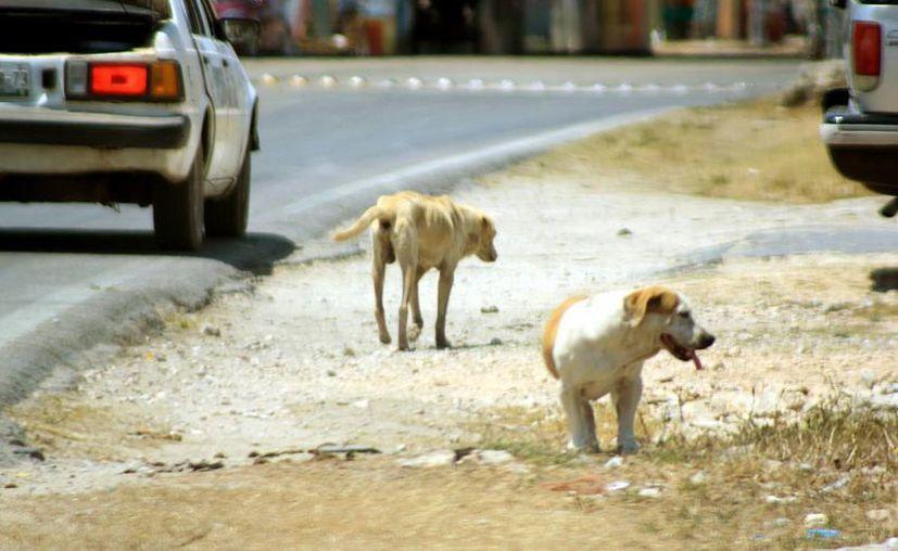 Temen que haya una gran proliferación de perros callejeros. (Milenio Novedades)