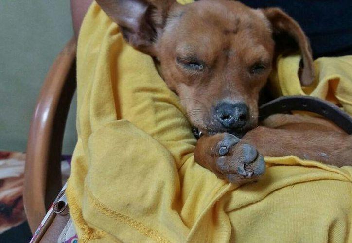 No se descarta que haya más mascotas enfermas en la ínsula, ya que el virus tarda hasta 15 días en incubar. (Gustavo Villegas/SIPSE)