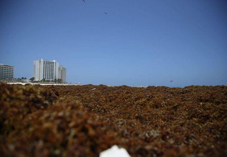 Las costas de Cancún se encuentran enterradas bajo capas de sargazo que recalan del mar. (Sergio Orozco/SIPSE)