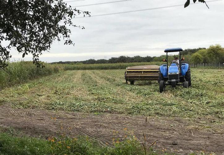 Cada vez hay más riesgo en la cosecha, por los cambios de clima, plagas, falta de lluvias, entre otros. (Carlos Castillo/SIPSE)