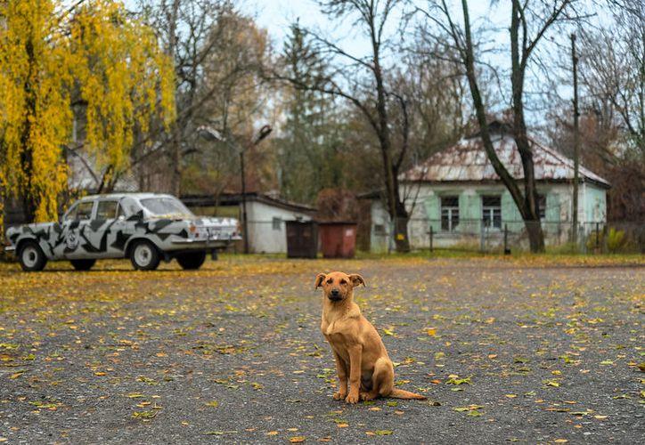 Los perros de Chernobyl no reciben caricias, pues pueden tener partículas radiactivas en su pelaje.  (Flickr/Jorge Franganillo Chernoby)