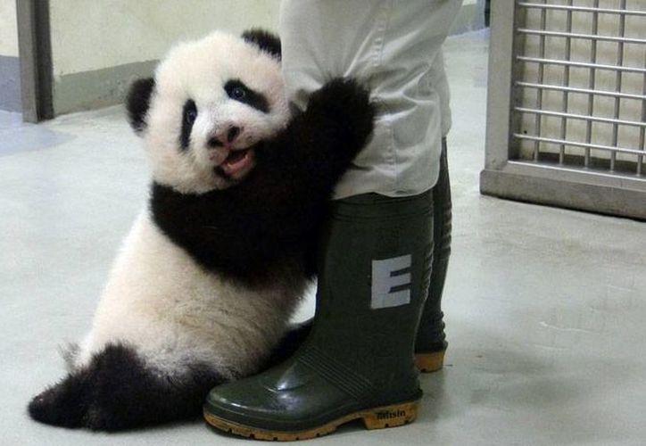 Desde su llegada al zoológico la pequeña se convirtió en la consentida de todos. Foto: (Pueblo en línea).