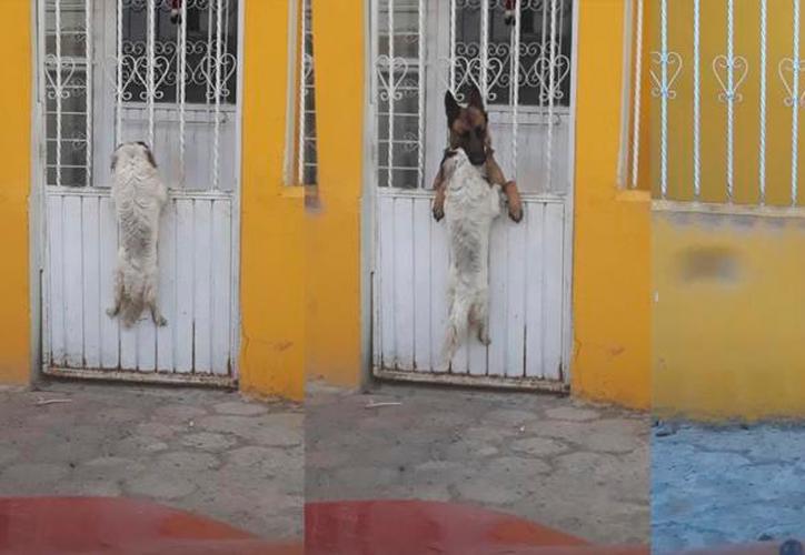 En el video se observa que el pequeño can permanece suspendido en la barda, mientras el otro perro lo ayuda. (Foto: La República)