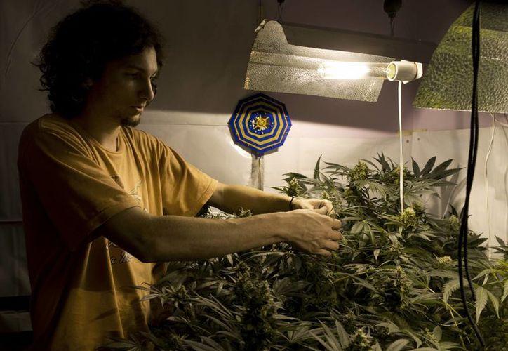 Los cultivadores del cannabis en Uruguay indican que el texto de la nueva ley debe ser más preciso. (Agencias)
