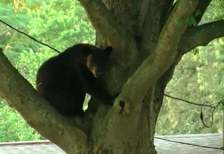 El oso fue visto por un agente alrededor de las 05:30 horas. (twitter.com/Surf973)