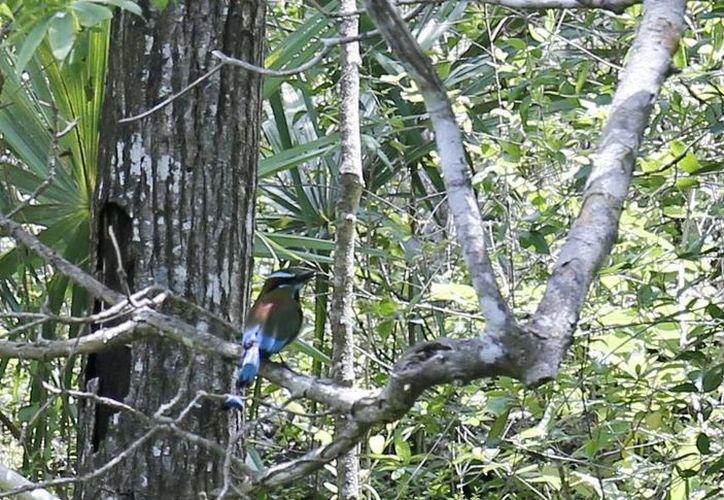 Quintana Roo tiene más de 50% de aves en México. (Amaury Rodríguez/SIPSE)
