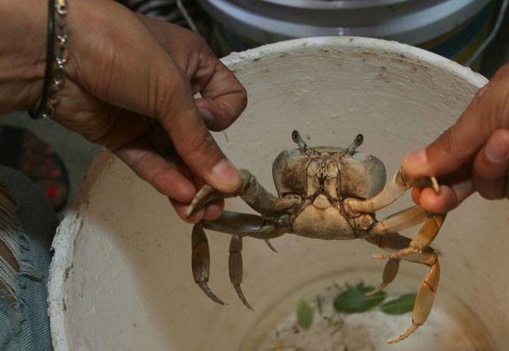 La playa del Niño, Punta Nizuc y Malecón Tajamar, son los puntos donde se prioriza que no se maten a los cangrejos. (Tomás Álvarez/SIPSE)
