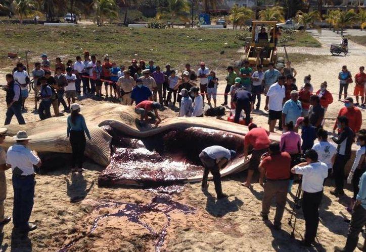 Decenas de personas presenciaron la disección de la ballena cuyo cadáver recaló este domingo, en las costa de Progreso, Yucatán. (Jorge Acosta/SIPSE)