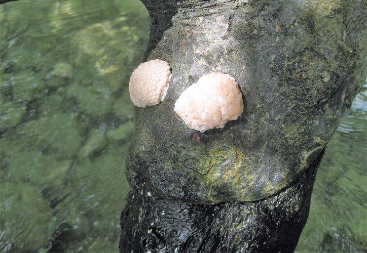 Dos años tiene que se realizaron un estudio sobre el molusco y hasta la fecha no hay acciones de cuidado. (Javier Ortiz/SIPSE)