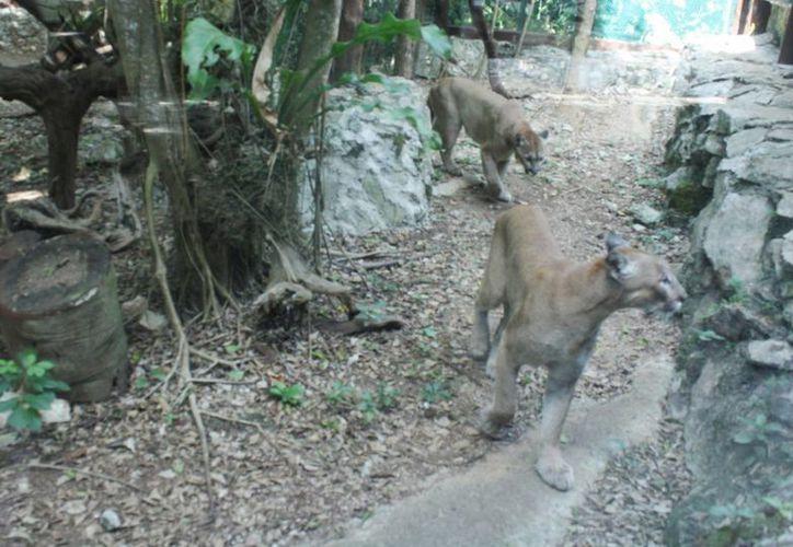El zoológico cuenta con felinos como pumas, panteras y jaguares. (Alida Martínez/SIPSE)