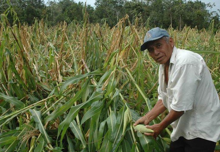 El sector rural, en términos de mercado, es uno de los más golpeados por las crisis. (Edgardo Rodríguez/SIPSE)