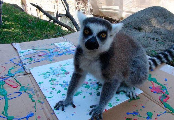 Un lemur 'muestra' la obra pictórica que realizó en el zoológico de Oakland. Las obras serán subastadas con fines altruistas. (AP)
