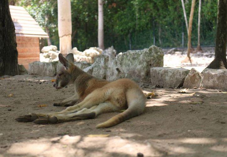 Ahora el zoológico Animal Park permitirá observar el momento en el que se rescata a animales heridos. (Adrián Barreto/SIPSE)
