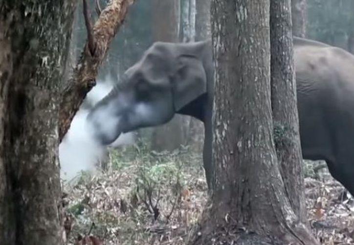 """Aparentemente el animal ingirió carbón"""", producto de un incendio controlado y """"escupió humo"""". (Youtube)"""