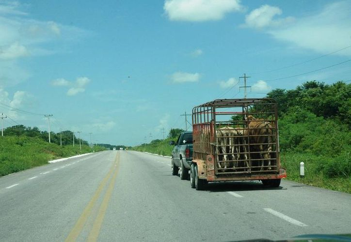 Los delincuentes buscan nuevas manera de sustraer los animales, denuncian productores ganaderos. (Edgardo Rodríguez/SIPSE)