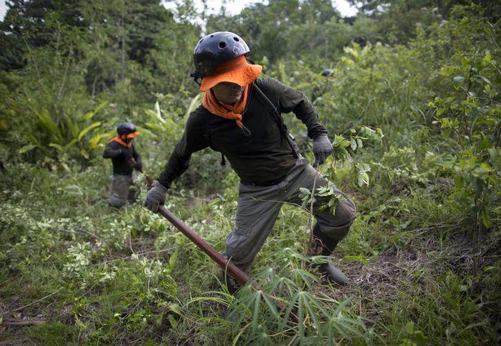 Un trabajador arranca una planta de coca en Nueva Esperanza, una remota aldea en la municipalidad de Ciudad Constitución en la Amazonia peruana. (Agencias)