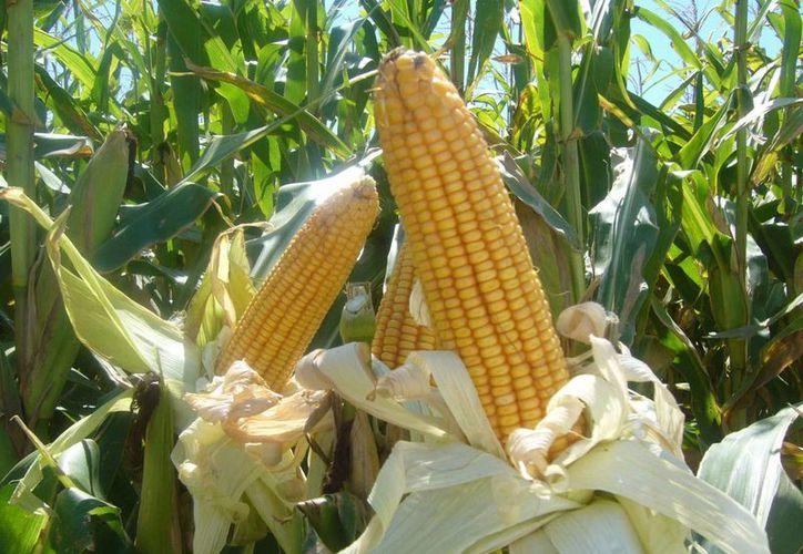 Ahora quieren conservar este nuevo tipo de maíz que tiene lisina y triptófano para registrarlo y se pueda poner en manos de los productores. (inecex.com.mx)
