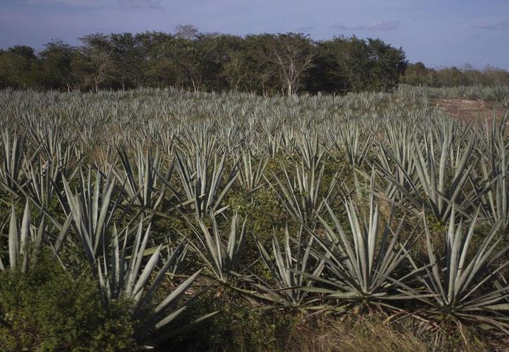 En el pasado, eran 60 los municipios de Yucatán dedicados al cultivo del henequén. Actualmente, quedan solo 38. (Archivo/Notimex)