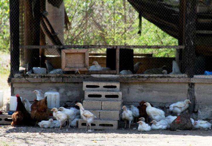 El frío provocó que las gallinas ponedoras de los ranchos de Playa del Carmen produjeran 30% menos huevos. (Octavio Martínez/SIPSE)