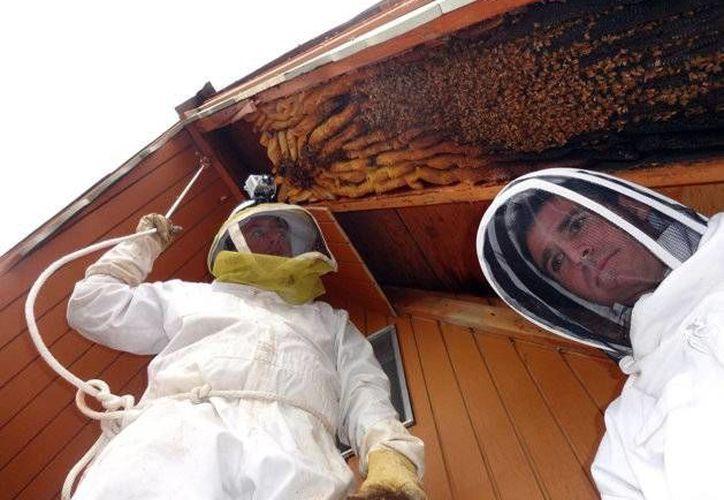 Imagen del mes pasado, cuando el apicultor Vic Bachman, Bachman (izquierda) y su socio Nate Hall se preparaban para retirar una colmena de más de tres metros de largo en una cabaña de Eden, Utah. (Agencias)