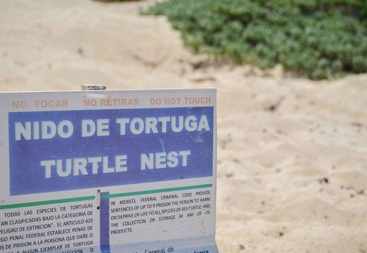 Registran las autoridades los sitios de anidación de la especie marina. (Cortesía)