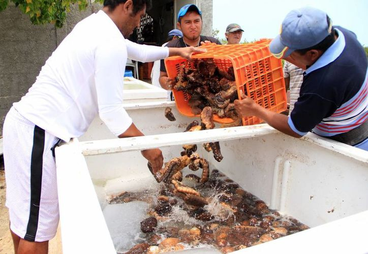 Según las autoridades federales de pesca, en lo que va de 2013 han decomisado más de 30 toneladas de pepino de mar. (José Acosta/SIPSE)