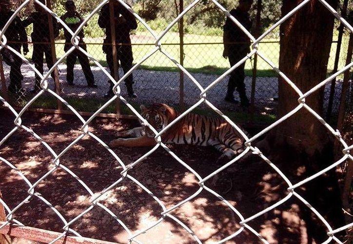 El tigre fue localizado por la Profepa gracias a una denuncia ciudadana. (Profepa/Facebook)