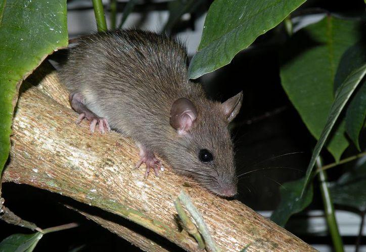 Plagas exóticas como la rata negra (rattus rattus) desplazó y depredó especies nativas de flora y fauna en el complejo arrecifal coralino. Hoy se tiene 423 turistas conscientes que ayudan a evitar el problema. (Francisco Sansores/SIPSE)