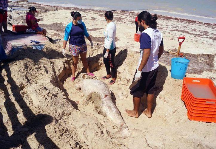 Veterinarios de la Uady analizan los restos del cetáceo. (Milenio Novedades)