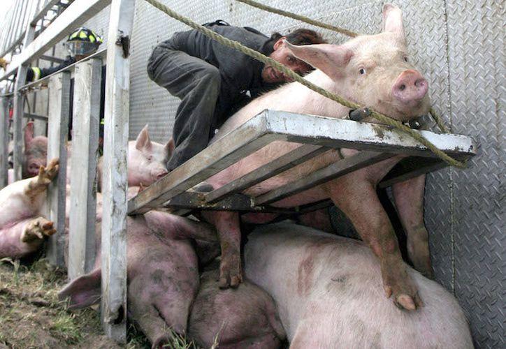El propósito es abatir la crueldad en las prácticas de sacrificio de animales utilizados para consumo. (Sin Embargo)