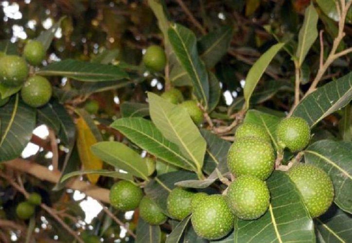Con las hojas secas del ramón se produce forraje para ganado y té verde antes de que se sequen. (Javier Ortiz/SIPSE)