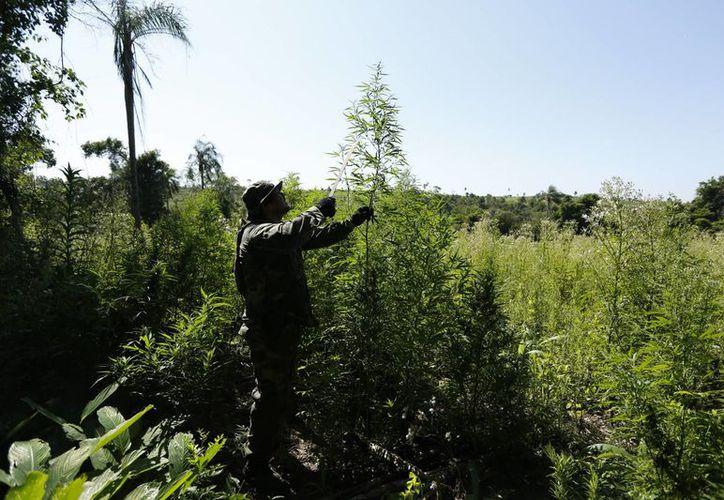 Machete en mano, un soldado inspecciona una planta de marihuana durante una redada en la que se destruyeron cultivos ilegales cerca de Curuguaty, en Paraguay. (Agencias)