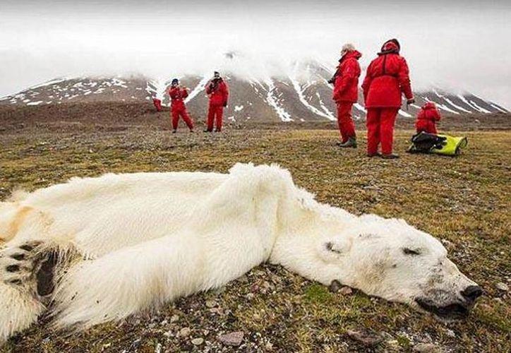 El oso debió de alejarse de la zona donde cazaba habitualmente para obtener alimento. (twitter.com/raulbrindis)