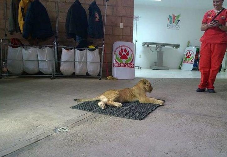 Imagen de 'Leonardo', uno de los felinos que fueron trasladados de México al santuario animal en Colorado. (facebook.com/ProfepaOficial)