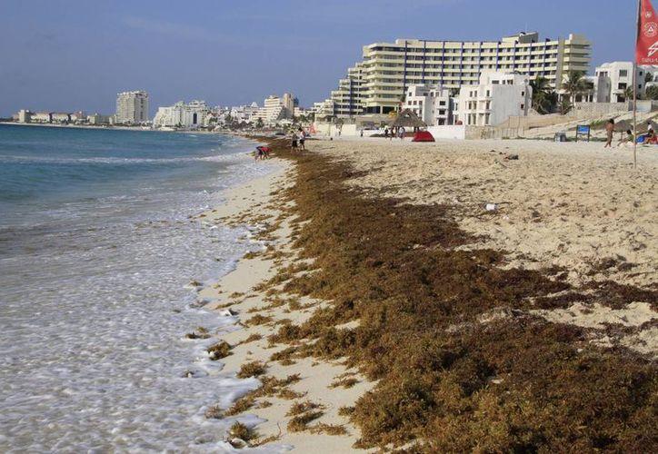 El arribo atípico del sargazo a las costas de Quintana Roo ha ocasionado que se busquen soluciones definitivas. (Tomás Álvarez/SIPSE)